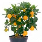 kak-vyirastit-apelsin