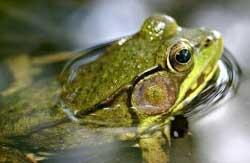 болотная лягушка